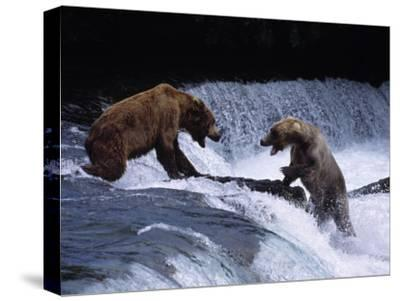 Grizzly Bear Fights with Another Bear-Jeff Foott-Stretched Canvas Print