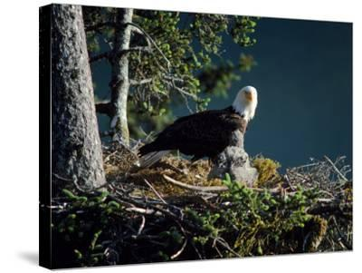 Bald Eagle with Chicks at Nest-Jeff Foott-Stretched Canvas Print
