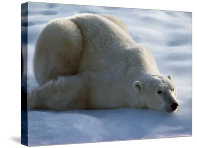 Polar Bear Relaxing on Ice, Canada-Jeff Foott-Stretched Canvas Print