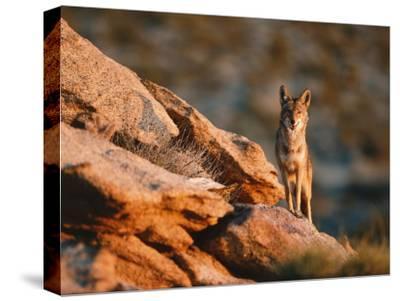 Coyote Stands on Rock Ledge-Jeff Foott-Stretched Canvas Print
