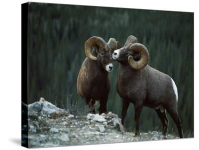 Bighorn Sheep-Jeff Foott-Stretched Canvas Print