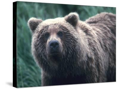 Grizzly Bear-Jeff Foott-Stretched Canvas Print