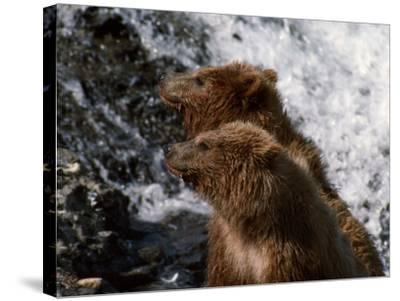 Black Bear-Jeff Foott-Stretched Canvas Print