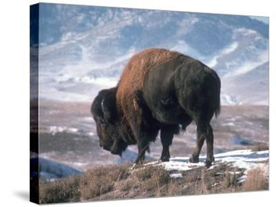 Bison Stands on Snowy Hill-Jeff Foott-Stretched Canvas Print