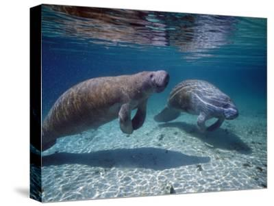 West Indian Manatee-Jeff Foott-Stretched Canvas Print