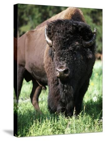 Bison Bull, South Dakota Usa-Jeff Foott-Stretched Canvas Print