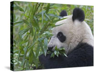 China, Sichuan Province, Wolong, Giant Panda Eating Bamboo-Keren Su-Stretched Canvas Print