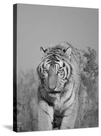 China, Heilongjiang Province, Siberian Tiger in the Grass-Keren Su-Stretched Canvas Print