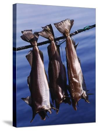 Fish Hanging to Dry, Traditional Method of Drying Fish in Iceland--Stretched Canvas Print