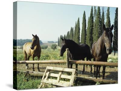 Horses on Farm in Siena, Italy--Stretched Canvas Print