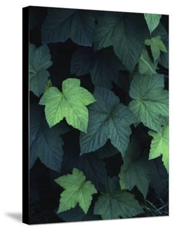 Close-Up of Leaves--Stretched Canvas Print