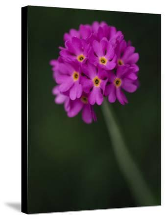 A Purple Flower--Stretched Canvas Print