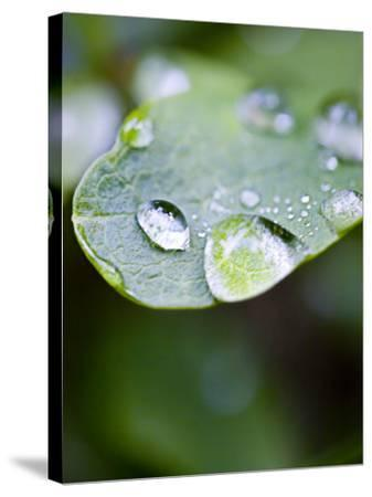 Close-Up of Dew Drops on a Leaf--Stretched Canvas Print