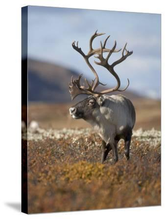 A Male Reindeer in Norway--Stretched Canvas Print