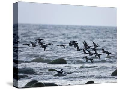 Geese Flying over a Sea--Stretched Canvas Print