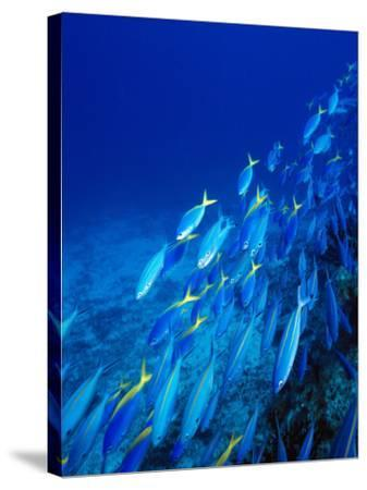 School of Tropical Fish Swimming Above Ocean Floor, Fiji--Stretched Canvas Print
