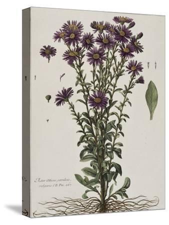 Aster à fleur mauve-Nicolas Robert-Stretched Canvas Print