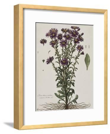 Aster à fleur mauve-Nicolas Robert-Framed Giclee Print