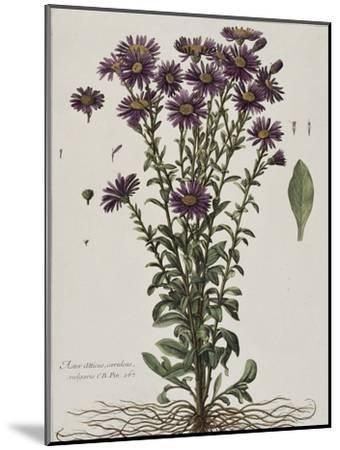 Aster à fleur mauve-Nicolas Robert-Mounted Giclee Print