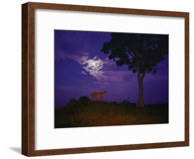 A Young Cheetah Prowls by Moonlight in the Okavango Delta-Chris Johns-Framed Photographic Print