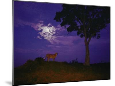 A Young Cheetah Prowls by Moonlight in the Okavango Delta-Chris Johns-Mounted Photographic Print