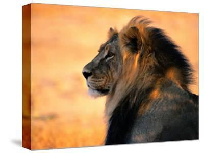 An Adult Male African Lion, Panthera Leo-Nicole Duplaix-Stretched Canvas Print