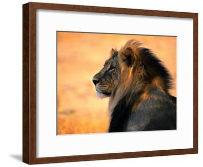 An Adult Male African Lion, Panthera Leo-Nicole Duplaix-Framed Photographic Print