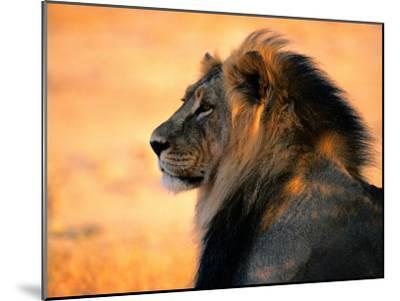 An Adult Male African Lion, Panthera Leo-Nicole Duplaix-Mounted Photographic Print