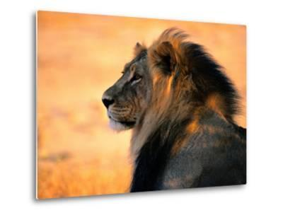 An Adult Male African Lion, Panthera Leo-Nicole Duplaix-Metal Print