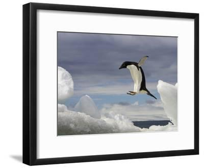 An Adelie Penguin, Pygoscelis Adeliae, Jumping on an Iceberg-Ralph Lee Hopkins-Framed Photographic Print