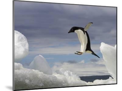 An Adelie Penguin, Pygoscelis Adeliae, Jumping on an Iceberg-Ralph Lee Hopkins-Mounted Photographic Print