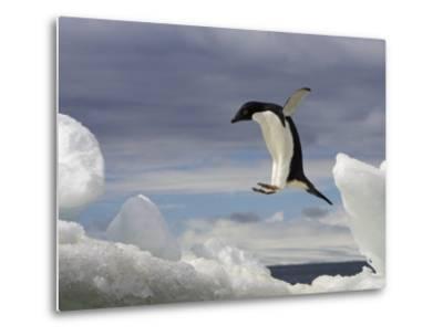 An Adelie Penguin, Pygoscelis Adeliae, Jumping on an Iceberg-Ralph Lee Hopkins-Metal Print