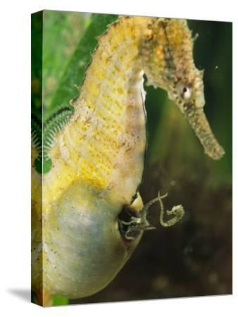 A Male Sea Horse with Young Emerging from Birthing Sac-George Grall-Stretched Canvas Print