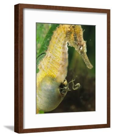 A Male Sea Horse with Young Emerging from Birthing Sac-George Grall-Framed Photographic Print