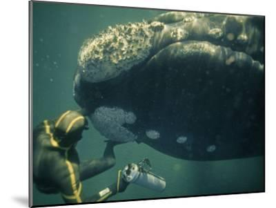 A Movie Photographer Keeps His Camera Out of the Way of a Right Whale-Bill Curtsinger-Mounted Photographic Print