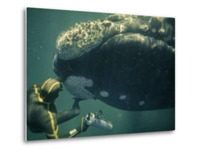 A Movie Photographer Keeps His Camera Out of the Way of a Right Whale-Bill Curtsinger-Metal Print