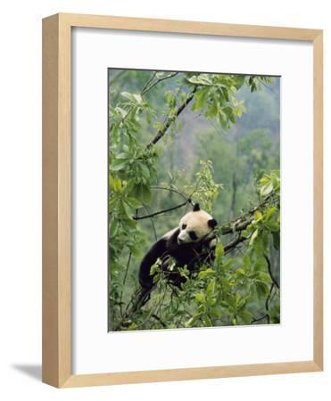 A Young Male Giant Panda, Ailuropoda Melanoleuca, Awaits its Mother-Lu Zhi-Framed Photographic Print