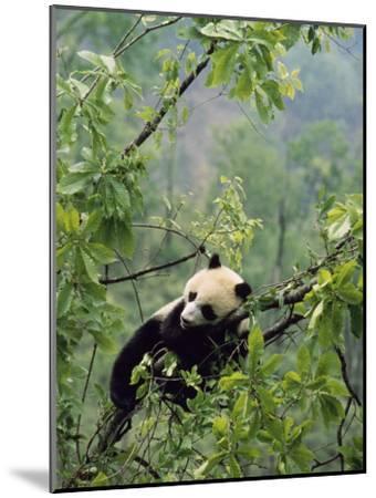 A Young Male Giant Panda, Ailuropoda Melanoleuca, Awaits its Mother-Lu Zhi-Mounted Photographic Print