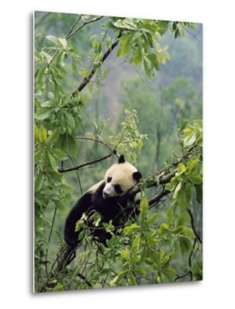 A Young Male Giant Panda, Ailuropoda Melanoleuca, Awaits its Mother-Lu Zhi-Metal Print