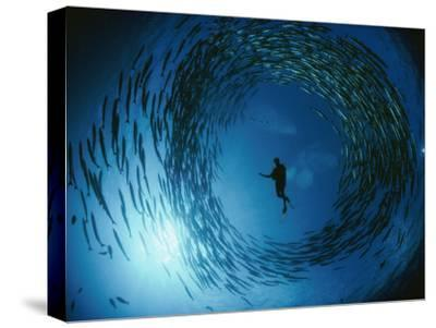 A Naturalist Is Ringed by a Group of Rotating Barracuda-David Doubilet-Stretched Canvas Print