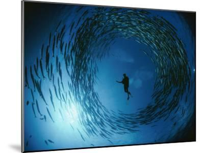 A Naturalist Is Ringed by a Group of Rotating Barracuda-David Doubilet-Mounted Photographic Print