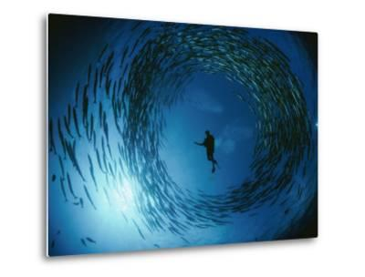 A Naturalist Is Ringed by a Group of Rotating Barracuda-David Doubilet-Metal Print