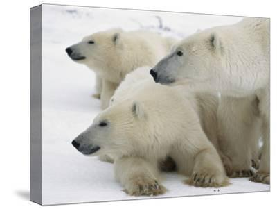 A Portrait of a Polar Bear Mother and Her Cubs, Ursus Maritimus-Norbert Rosing-Stretched Canvas Print
