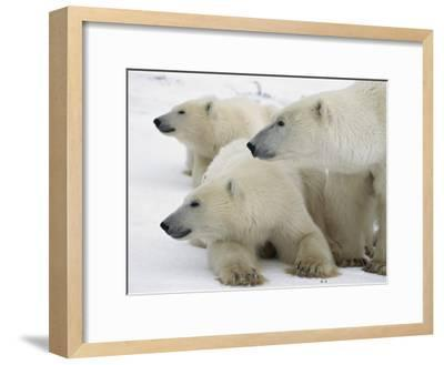 A Portrait of a Polar Bear Mother and Her Cubs, Ursus Maritimus-Norbert Rosing-Framed Photographic Print
