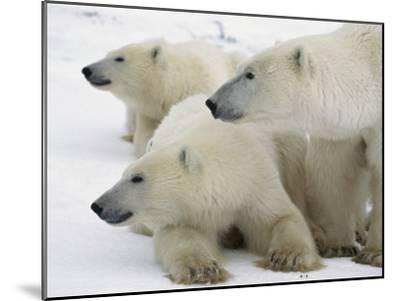 A Portrait of a Polar Bear Mother and Her Cubs, Ursus Maritimus-Norbert Rosing-Mounted Photographic Print