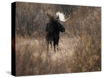 A Bull Moose Near the Snake River-Raymond Gehman-Stretched Canvas Print