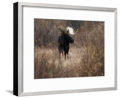 A Bull Moose Near the Snake River-Raymond Gehman-Framed Photographic Print
