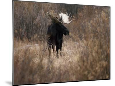 A Bull Moose Near the Snake River-Raymond Gehman-Mounted Photographic Print