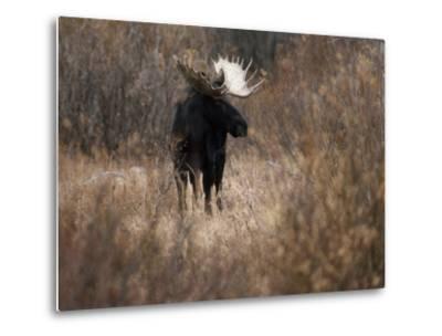 A Bull Moose Near the Snake River-Raymond Gehman-Metal Print