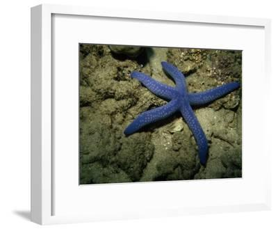 A Close View of a Blue Sea Star, Linckia Laevigata, on the Sea Floor-Tim Laman-Framed Photographic Print